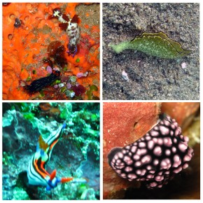 Nudibranch – A perfect Copycat -